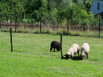 Petrova chalupa - ovce - nýdek